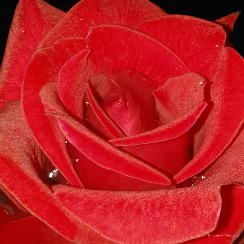 Survivor-RED-Rose _FD-Light-project